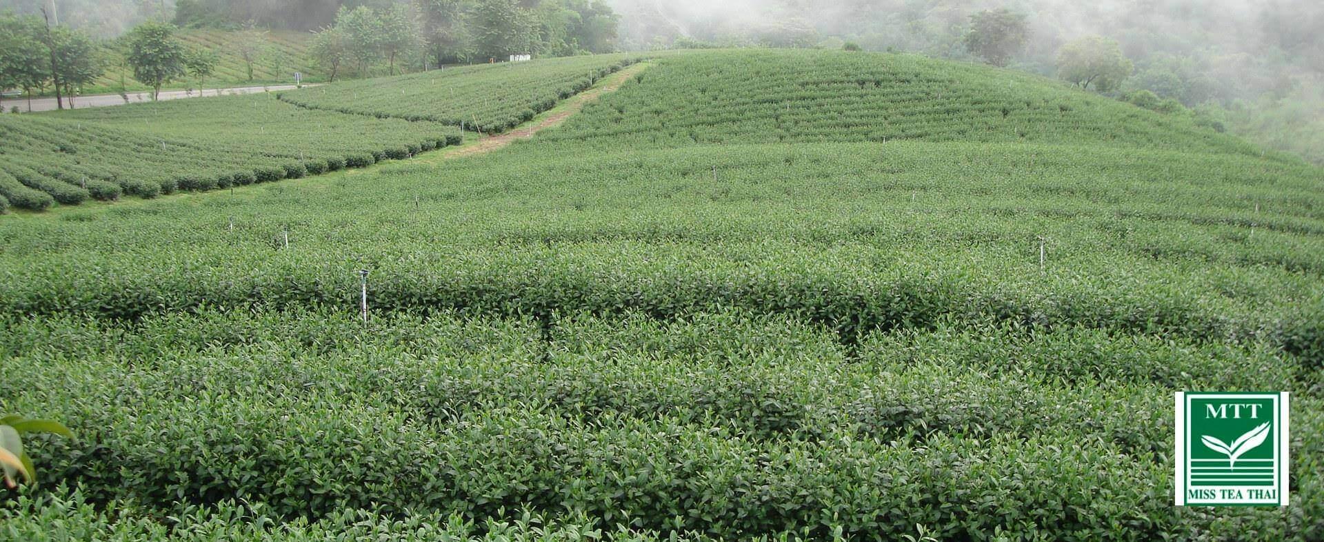 มีสทีไทยเป็นทั้งผู้ผลิตใบชา Miss Tea Thai