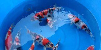 Siam KOI จำหน่ายปลาคาร์พนำเข้าจากประเทศ